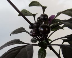 Black pearl chilli seeds