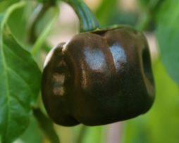 Chilhaucle Negro Chilli Seeds