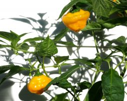Jamaican Scotch Bonnet Chilli Seeds