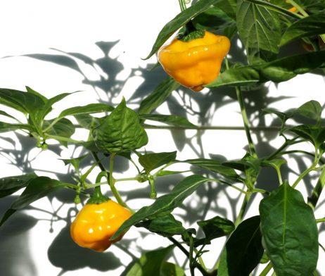 Jamaican Scotch Bonnet Chilli Seeds