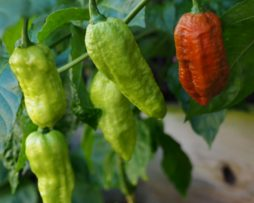 Caramel Ghost Chilli Seeds