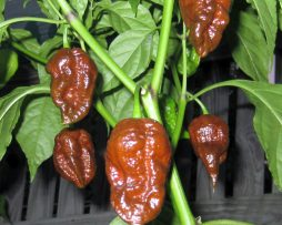 Kraken chilli seeds