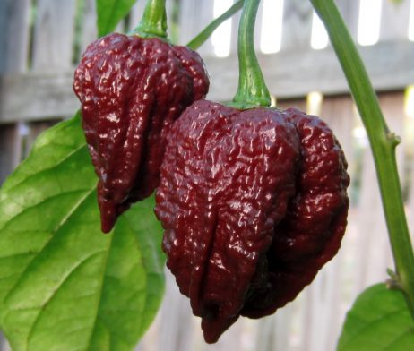Chocolate Naga Brain chilli seeds Chilli seeds in Australia