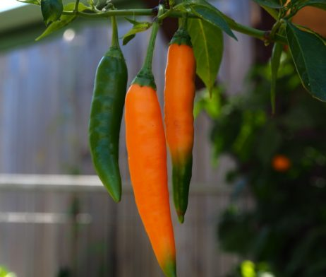 Thai Birdseye Orange Chilli Seeds