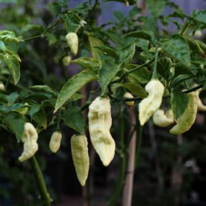 White Ghost Bhut Jolokia Seeds