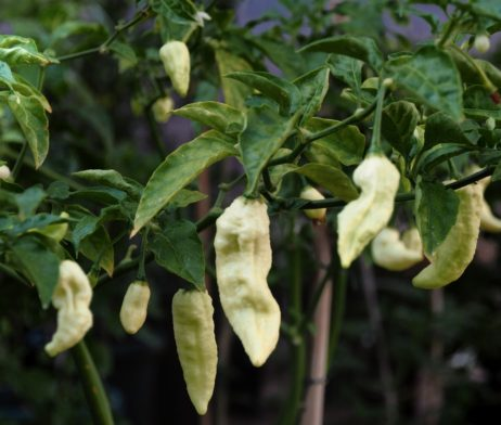 White Ghost Bhut Jolokia Seeds