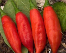 Bubba Chilli Seeds