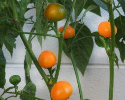 Tangerine Dream Chilli Seeds
