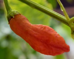Aji Peanut Chilli Seeds
