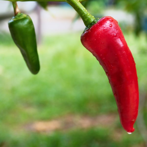 Honeypeno Chilli Seeds
