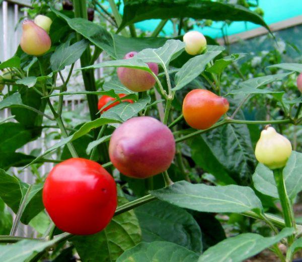 Pimento Barra do Ribeiro chilli seeds