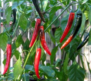 Prik Chi Faa chilli seeds
