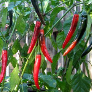 Prik Chi Faa chilli seeds