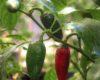 Mucho Nacho Jalapeno Chilli Seeds