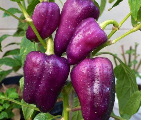 ODA Chilli Seeds