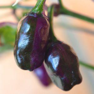 Purple Tiger Chilli Seeds