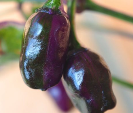 Purple Tiger Chilli Seeds