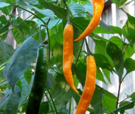 Aji Guyana Chilli Seeds