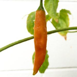 Aji Amarillo Chilli Seeds