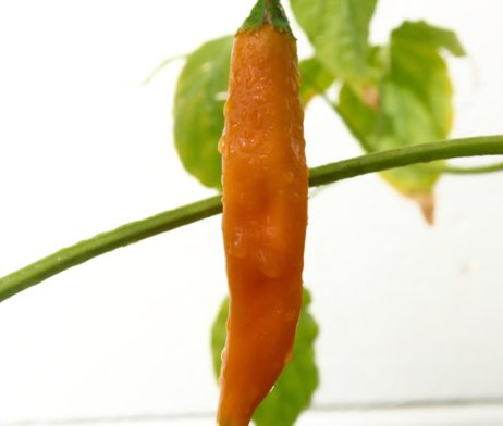 Aji Amarillo Chilli Seeds