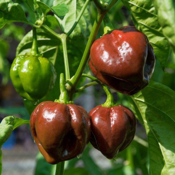 Big Brown Kathumby chilli seeds