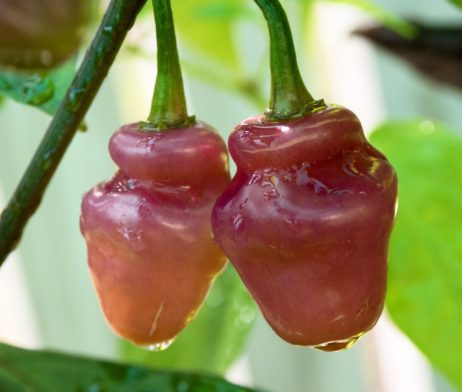 Fidelga Roxa chilli seeds