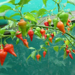 Pimento Diomar chilli seeds