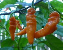 Tshololo chilli seeds