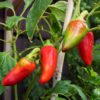 Bulls Heart Small Chilli Seeds