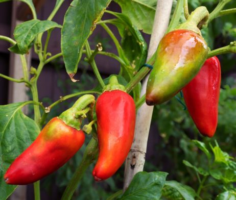 Bulls Heart Small Chilli Seeds