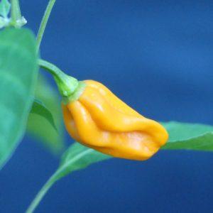 Mako Akokosrade chilli seeds