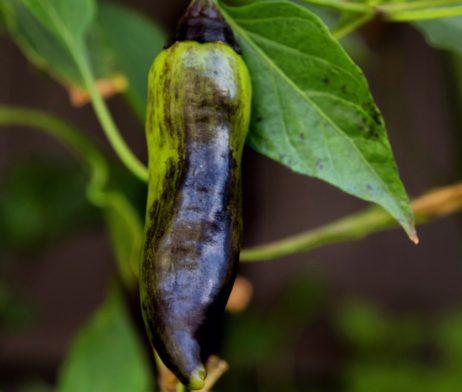 Vampire Chilli Seeds