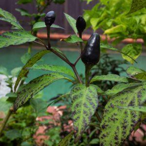 Black Piquin Chilli Seeds