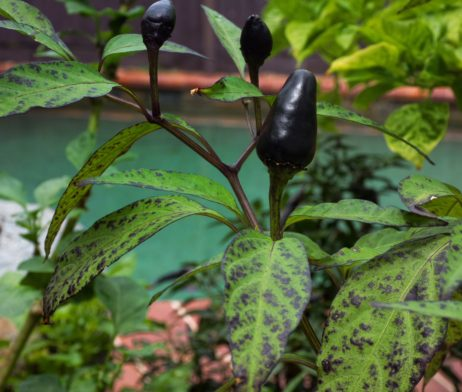 Black Piquin Chilli Seeds