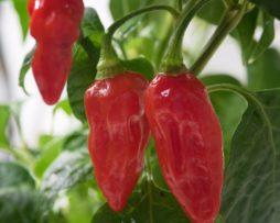 Devils Rib Chilli Seeds
