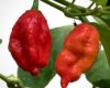 Naga Morich Chilli Seeds