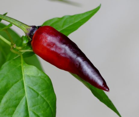 Comstock Purple chilli seeds
