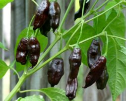 Matchu Picchu Chilli Seeds