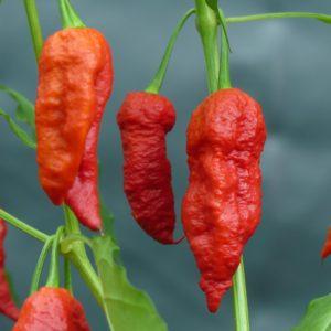 Choc Bhut X 7 pot Yellow Chilli seeds