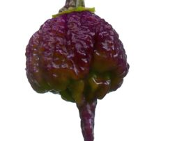 Purple Reaper Chilli Seeds