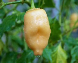 Aji Peach Fantasy Chilli Seeds