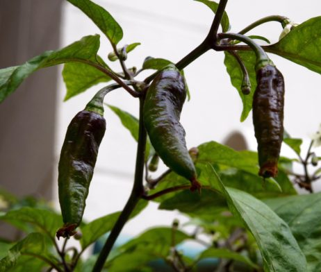 Black Ghost Chilli Seeds