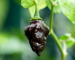 Chocolate Hand Grenade Chilli Seeds