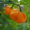 Habanero Big Sun Seeds