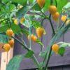 Murici Plant