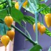 Murici Chilli Seeds