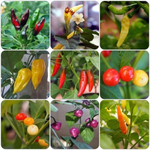 Nursery Chilli Seeds
