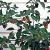 Black Scorpion Tongue Plant