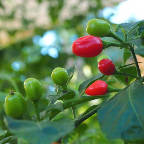Cheiro Do Para Chilli Seeds