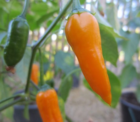 Criolla Sella Chilli Pepper Plant